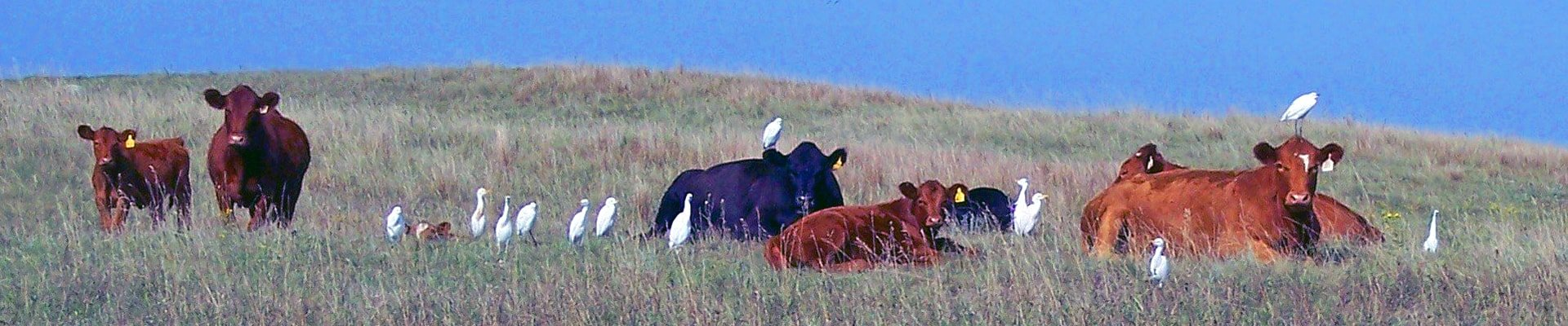 Birds Sitting on Cows in a Field